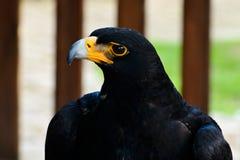 черный орел стоковая фотография rf
