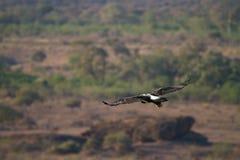 Черный орел Стоковая Фотография