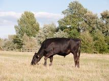 Черный пасти коровы одиночный в поле на день ` s лета в dedha Стоковые Фото