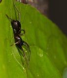 Черный паук имитатора муравья Стоковое Фото