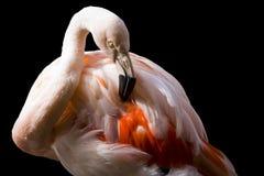 черный пинк фламингоа Стоковые Фотографии RF