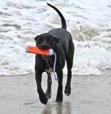 Черный питбуль бежать на пляже с игрушкой в его рте Стоковые Изображения