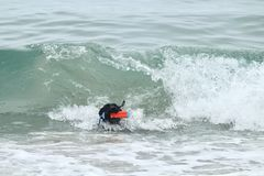Черный питбуль выручая игрушку в волнах в Тихом океане Стоковое Фото