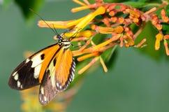 черный помеец бабочки Стоковые Фото