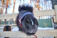 Черный пони в ручке с шерстями Портрет крупного плана пони в сезоне зимы стоковая фотография