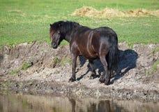 Черный пони Shetland на моча месте Стоковое фото RF