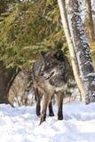 Черный портрет волка тимберса Стоковая Фотография