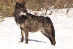 Черный портрет волка стоковые изображения rf