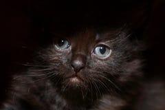 Черный портрет киски Стоковое Фото