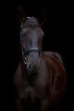 Черный портрет лошади на черной предпосылке Стоковые Изображения