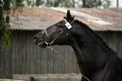 Черный портрет лошади спорта с уздечкой стоковое изображение
