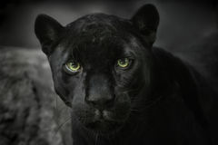 черный портрет ягуара Стоковое Изображение RF