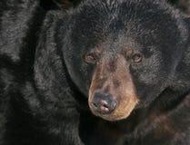 черный портрет bear4 Стоковые Фото