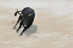 черный поручать быка Стоковое Изображение