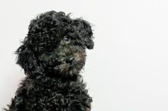 Черный пудель щенка на белой предпосылке Стоковое Изображение