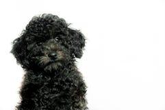 Черный пудель щенка на белой предпосылке Стоковые Изображения
