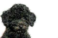Черный пудель щенка на белой предпосылке Стоковая Фотография