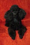 Черный пудель лежа на бургундской предпосылке Стоковые Изображения