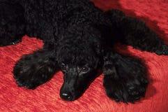 Черный пудель лежа на бургундской предпосылке Стоковая Фотография RF