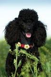 Черный пудель на зеленой траве Стоковые Фотографии RF