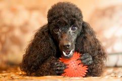 Черный пудель с красным шариком Стоковые Фото
