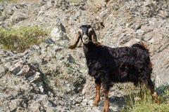 Черный ребенк козы на скалистом выгоне Стоковое Изображение RF