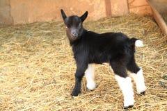 Черный ребенк козы Стоковое Изображение RF
