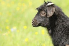Черный ребенк козы Стоковое фото RF