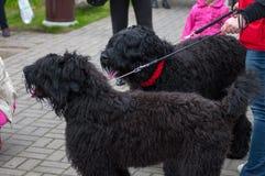 черный русский terrier Стоковое Изображение RF