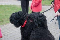 черный русский terrier Стоковое фото RF