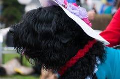 черный русский terrier Стоковое Фото