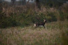 Черный самец оленя, живая природа, ход, красивый, внушительный Стоковое Фото