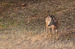 Черный самец оленя кабеля Стоковые Фотографии RF