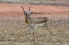 черный самец оленя стоковое фото rf