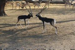 черный самец оленя Стоковые Изображения RF