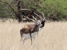 Черный самец оленя стоковые фотографии rf