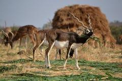 Черный самец оленя Стоковая Фотография