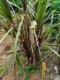 черный сахарный тростник с много преимуществ стоковые фото