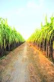 черный сахарный тростник фермы Стоковая Фотография
