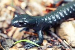 Черный саламандр Стоковое Изображение RF