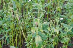 Черный сезам в ферме Стоковое Изображение