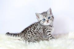 Черный серебряный котенок tabby сидит на овчине Стоковые Фото