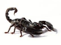 черный скорпион  Стоковые Изображения RF