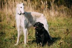 Черный смешанный Borzoi породы и охотничьей собаки и белых русский, Borz Стоковое фото RF