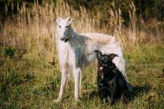 Черный смешанный Borzoi породы и охотничьей собаки и белых русский, Borzoi Стоковые Фотографии RF