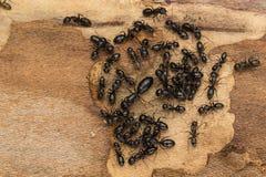 Черный социальный конец колонии муравья вверх Стоковая Фотография