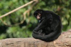 черный спайдер обезьяны Стоковая Фотография