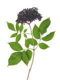 Черный старейшина - nigra Sambucus Стоковые Изображения RF