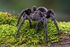 Черный тарантул бархата (pulchra grammostola) Стоковое Фото