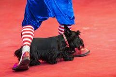 Черный терьер проходит между ногами клоуна в цирке Стоковые Фото